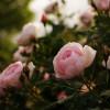 Узнайте причину, по которой цветы закрывают бутоны на ночь