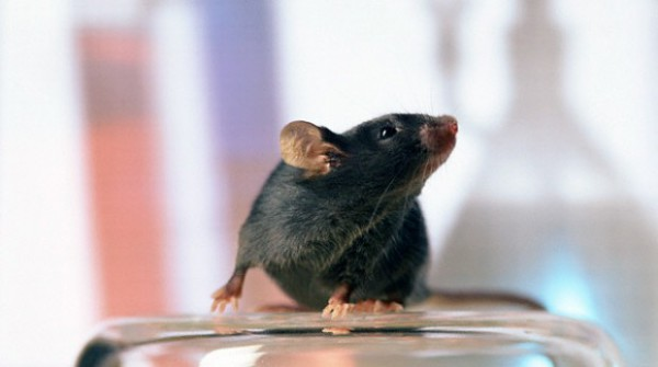 Ученые объяснили, почему мыши больше не боятся кошек