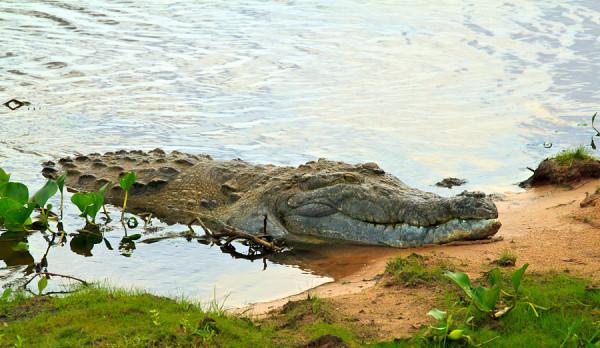 Крокодилы залезают на деревья, чтобы греться и следить за территорией