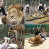 В аргентинском зоопарке можно посидеть в клетке со львами и тиграми
